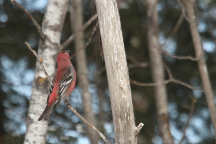 male pine grosbeak birch