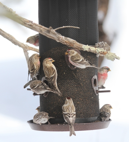 Redpolls at feeder near the entrance