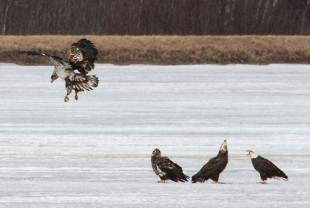 Adult and Immature Bald Eagles on Phantom Lake