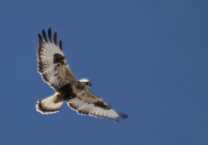 light phase Rough-legged hawk