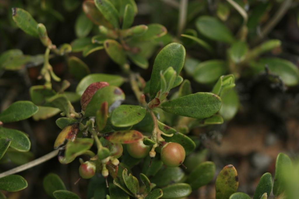 Arctostaphylos uva-ursi berry 2