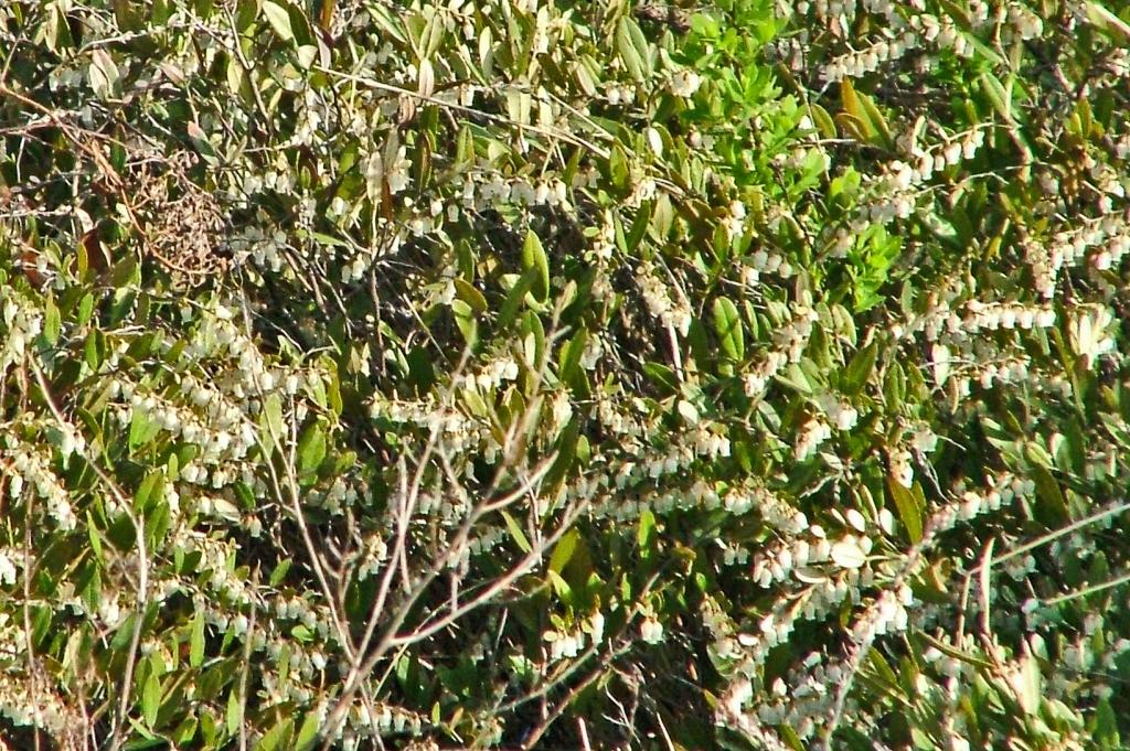 Chamaedaphne calyculata Leatherleaf