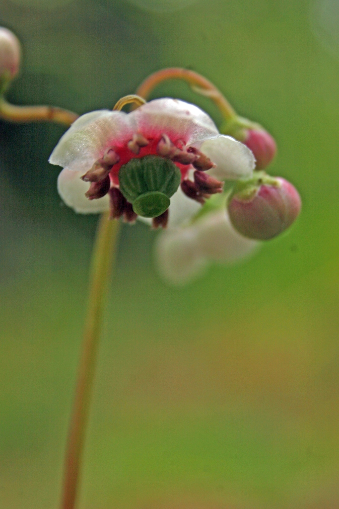 Chimaphila umbellata Pipsissewa closeup