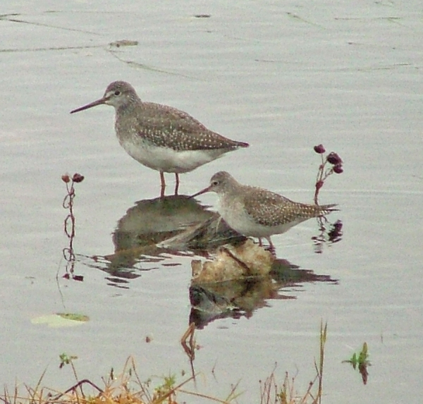 Greater Yellowlegs with Lesser Yellowlegs